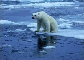 Polar bear climbing out of water